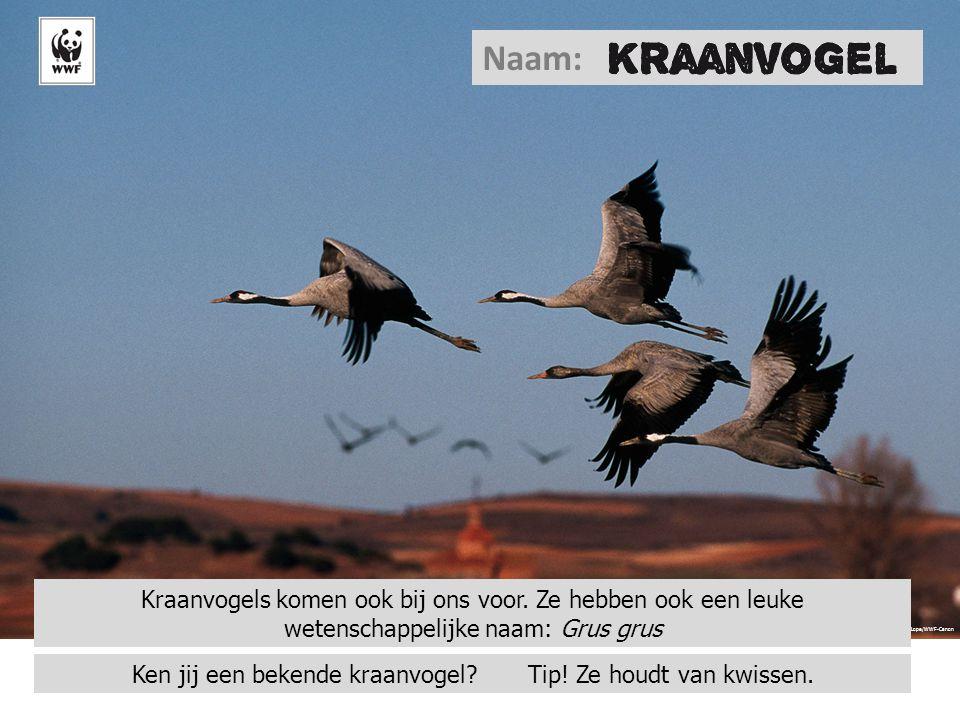 © Sanchez & Lope/WWF-Canon Naam: Kraanvogels komen ook bij ons voor. Ze hebben ook een leuke wetenschappelijke naam: Grus grus Ken jij een bekende kra