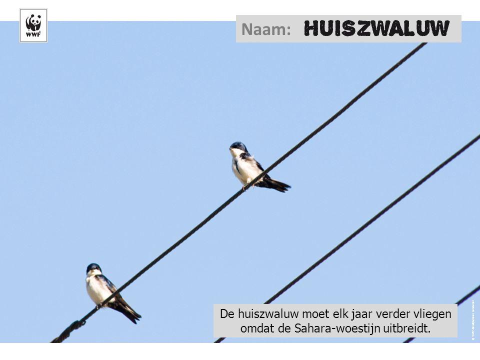 © WWF-Brazil/Adriano Gambarini Naam: De huiszwaluw moet elk jaar verder vliegen omdat de Sahara-woestijn uitbreidt.