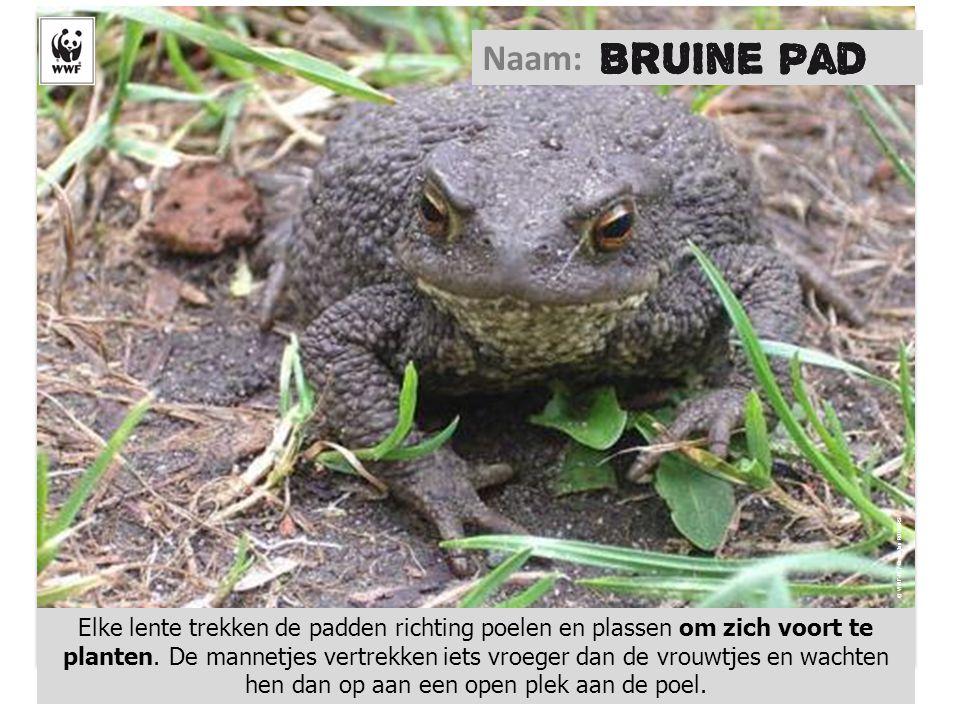 © WWF-NL / Geert-Jan ROEBERS Naam: Elke lente trekken de padden richting poelen en plassen om zich voort te planten. De mannetjes vertrekken iets vroe
