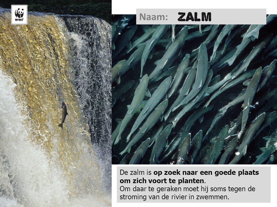 Naam: De zalm is op zoek naar een goede plaats om zich voort te planten. Om daar te geraken moet hij soms tegen de stroming van de rivier in zwemmen.