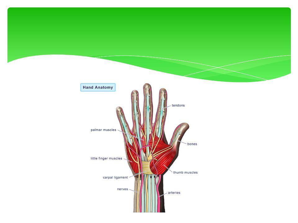  Anatomie  Lichamelijk onderzoek  Locatie verwonding  Aard verwonding  Beweeglijkheid  Stabiliteit  Sensibiliteit  Vergelijken met niet aangedane zijde Onderzoek