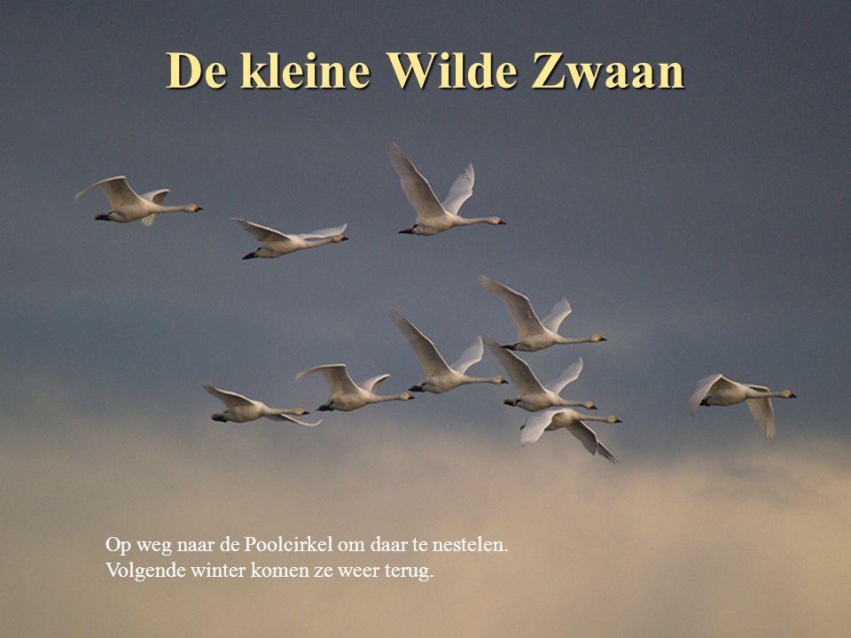 De Middelste Zaagbek Het mannetje veroverd hier zijn vrouwtje en vertrekt daarna terug naar het noorden om daar te over zomeren.