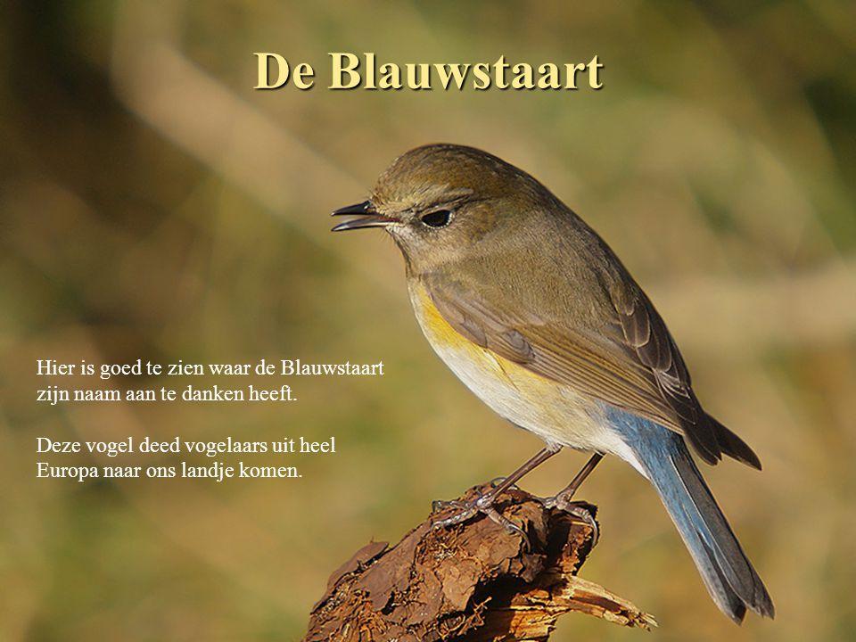 De Blauwstaart Een voor België zeldzame dwaalgast die van origine uit Azië afkomstig is.