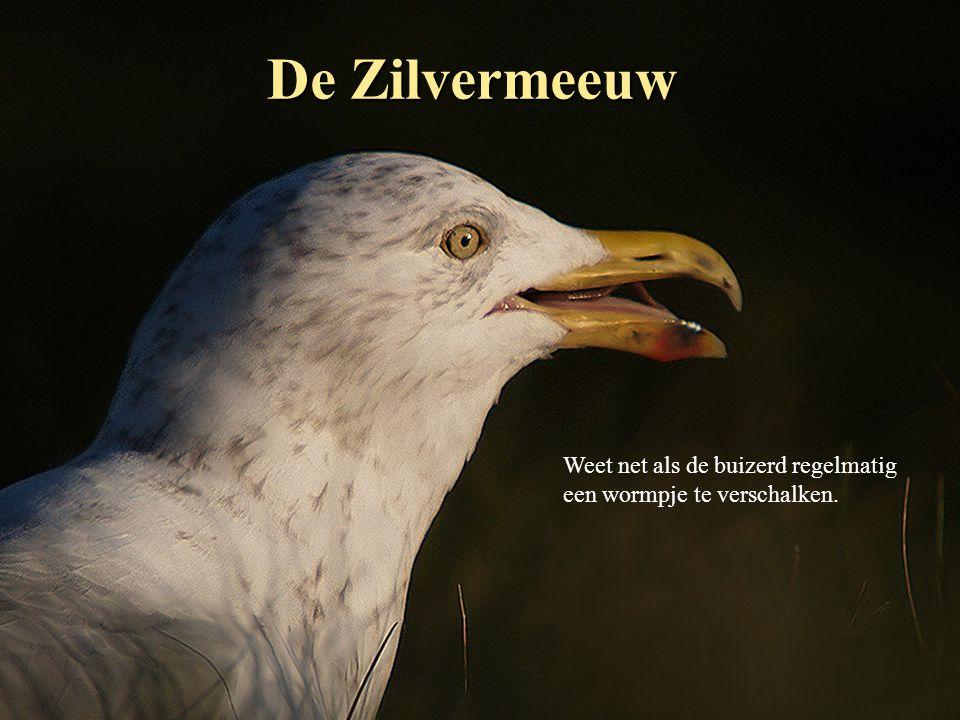 De Zilvermeeuw Weet net als de buizerd regelmatig een wormpje te verschalken.