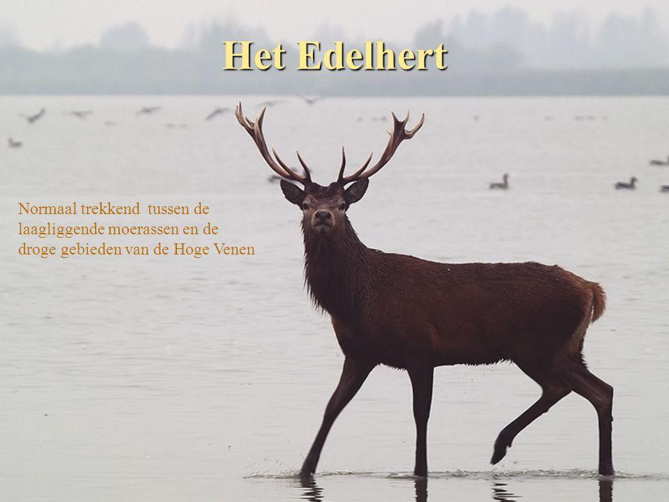 Het Edelhert Normaal trekkend tussen de laagliggende moerassen en de droge gebieden van de Hoge Venen
