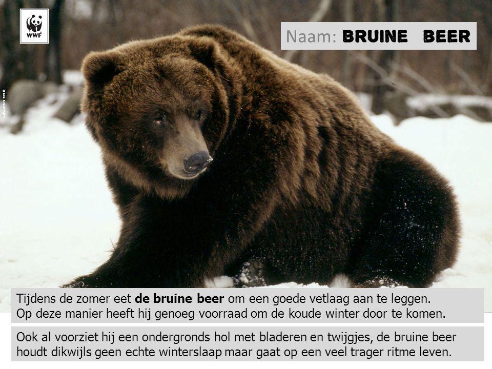 Tijdens de zomer eet de bruine beer om een goede vetlaag aan te leggen. Op deze manier heeft hij genoeg voorraad om de koude winter door te komen. © K