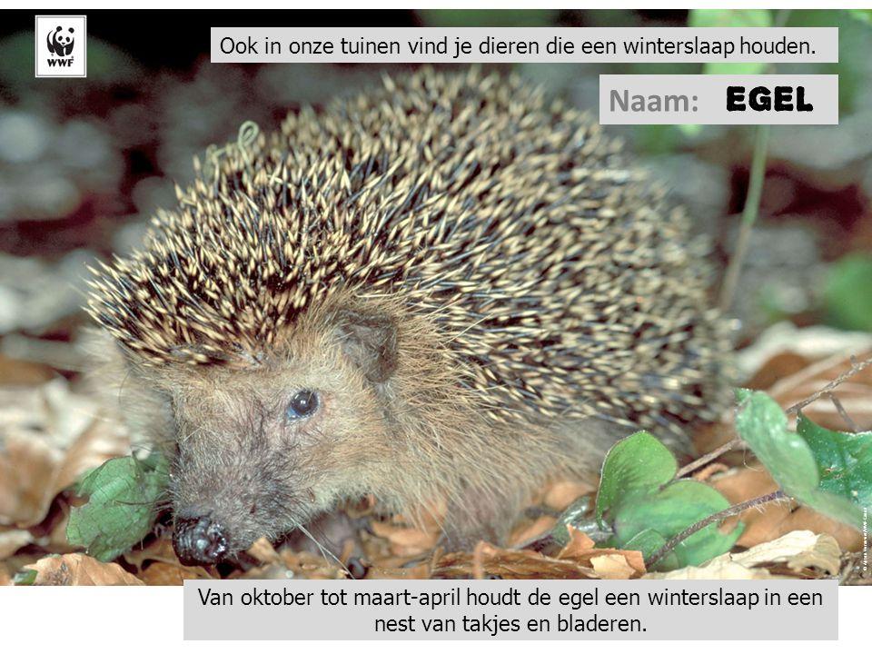 © Anton Vorauwer/WWF-Canon Ook in onze tuinen vind je dieren die een winterslaap houden. Naam: Van oktober tot maart-april houdt de egel een wintersla
