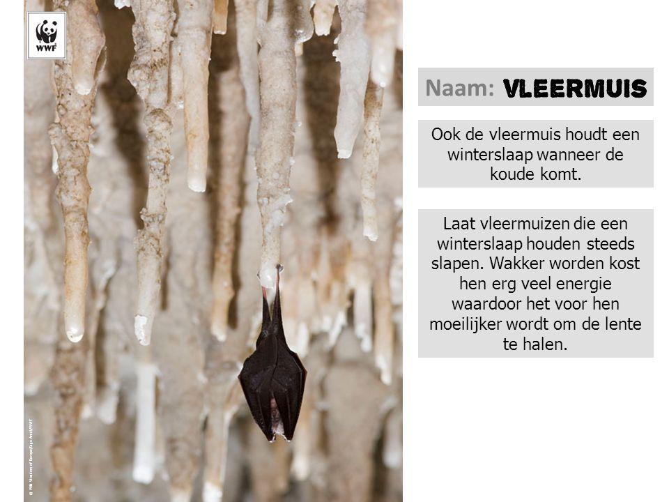 © Wild Wonders of Europe/Ingo Arndt/WWF Ook de vleermuis houdt een winterslaap wanneer de koude komt. Naam: Laat vleermuizen die een winterslaap houde