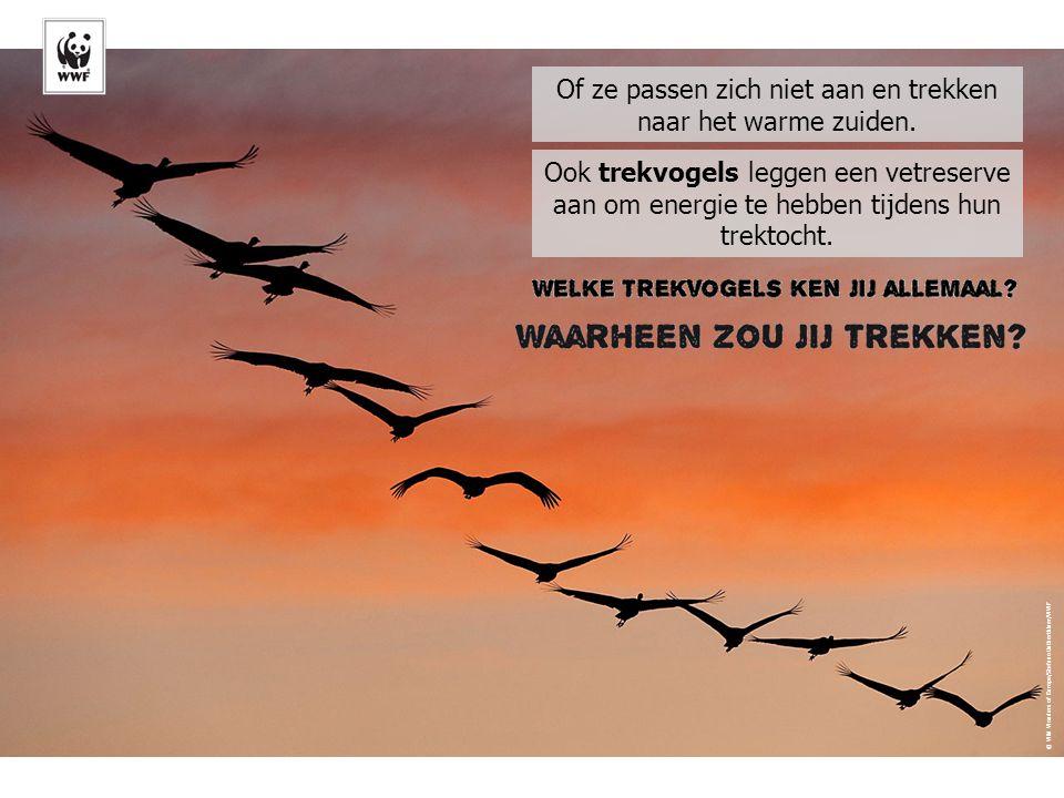 Migratie © Wild Wonders of Europe/Stefano Untherthiner/WWF Of ze passen zich niet aan en trekken naar het warme zuiden.