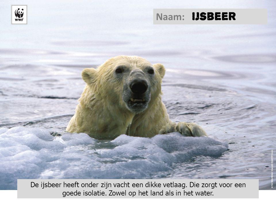 © Paul Nicklen/National Geographic Stock/WWF-Canada De ijsbeer heeft onder zijn vacht een dikke vetlaag. Die zorgt voor een goede isolatie. Zowel op h