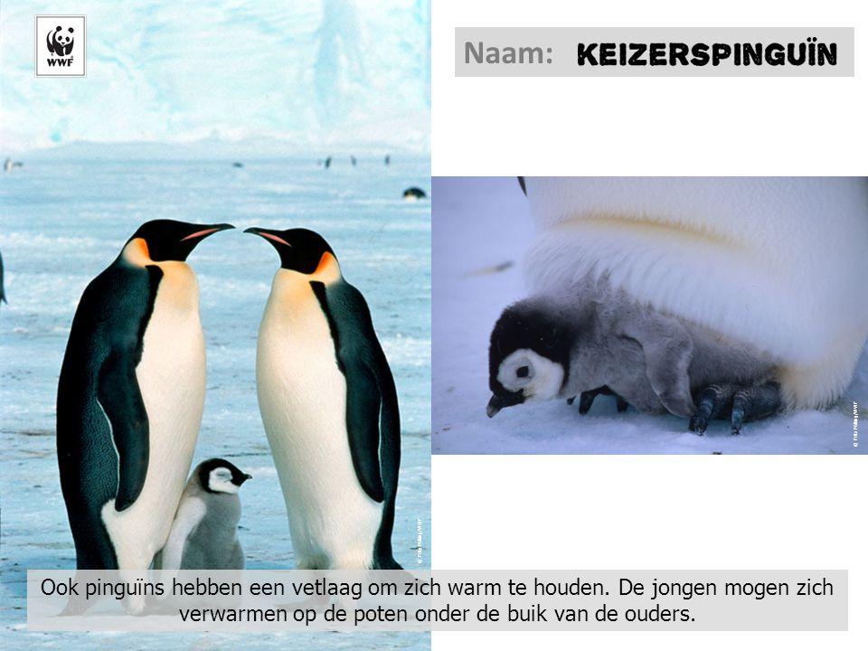 © Fritz Pölking/WWF Ook pinguïns hebben een vetlaag om zich warm te houden. De jongen mogen zich verwarmen op de poten onder de buik van de ouders. Na