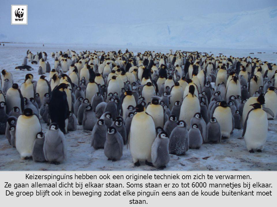 © Fritz Pölking/WWF Keizerspinguïns hebben ook een originele techniek om zich te verwarmen. Ze gaan allemaal dicht bij elkaar staan. Soms staan er zo
