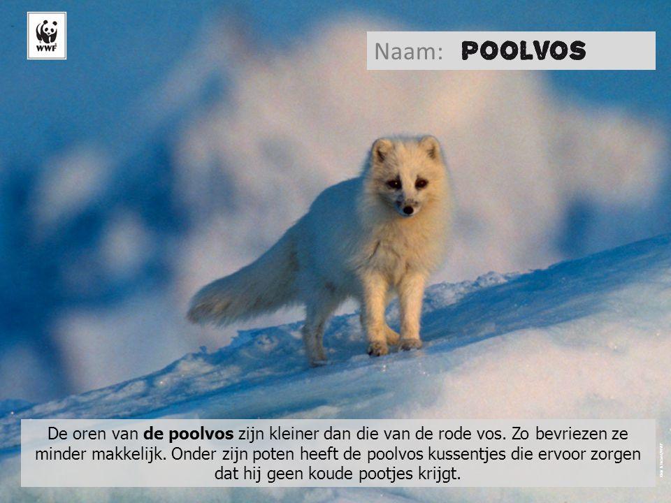 Klein & Hubert/WWF De oren van de poolvos zijn kleiner dan die van de rode vos.