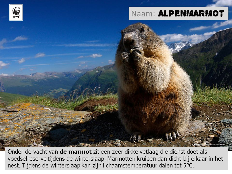 L'ours brun, le hérisson, l'écureuil… Onder de vacht van de marmot zit een zeer dikke vetlaag die dienst doet als voedselreserve tijdens de winterslaap.