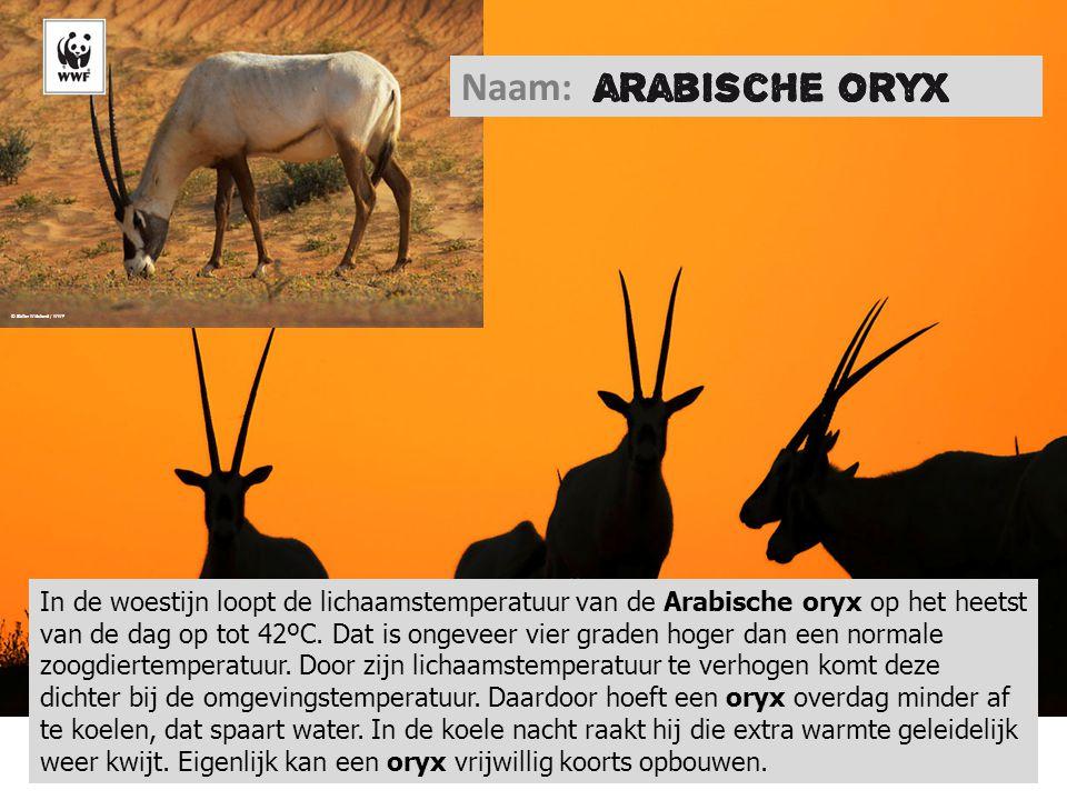 © Staffan Widstrand / WWF Naam: In de woestijn loopt de lichaamstemperatuur van de Arabische oryx op het heetst van de dag op tot 42ºC. Dat is ongevee