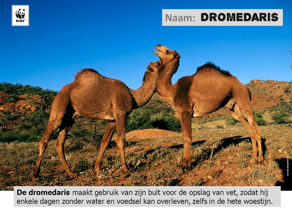 Chameau © WWF-Canon / Chris Martin BAHR Naam: De kameel kan zijn lippen zo tuiten dat hij water kan 'opzuigen'.