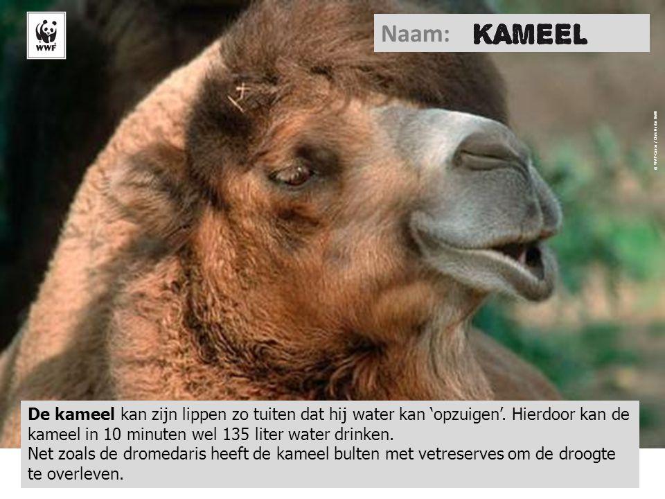 Chameau © WWF-Canon / Chris Martin BAHR Naam: De kameel kan zijn lippen zo tuiten dat hij water kan 'opzuigen'. Hierdoor kan de kameel in 10 minuten w