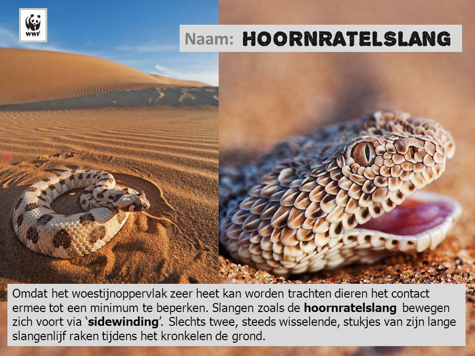 © Martin Harvey/WWF-Canon Naam: Omdat het woestijnoppervlak zeer heet kan worden trachten dieren het contact ermee tot een minimum te beperken. Slange