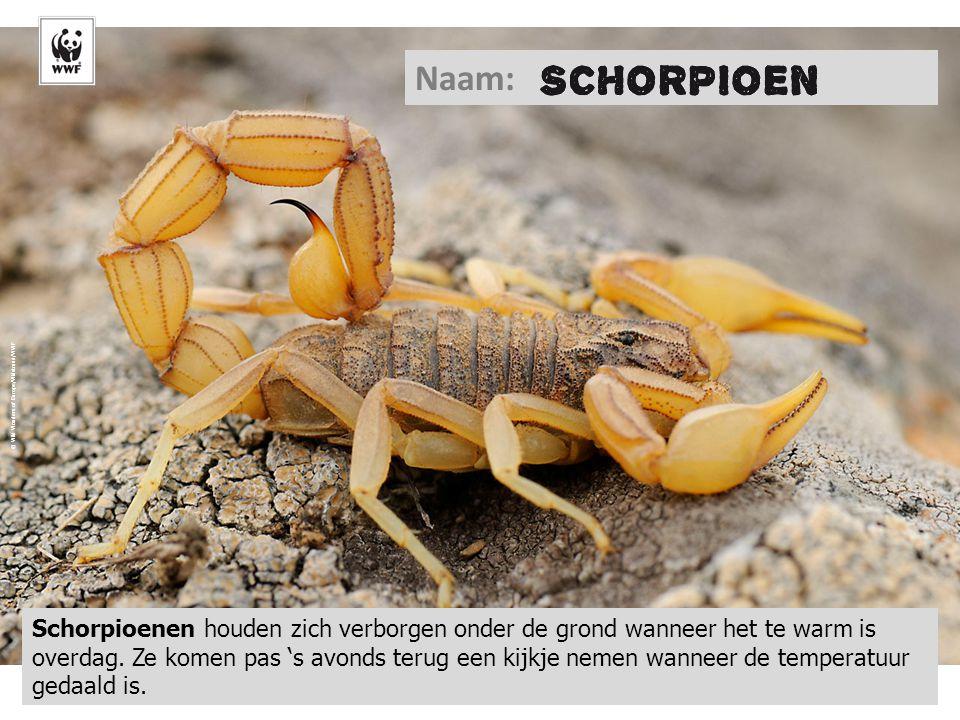 © Wild Wonders of Europe/Widstrand/WWF Naam: Schorpioenen houden zich verborgen onder de grond wanneer het te warm is overdag. Ze komen pas 's avonds