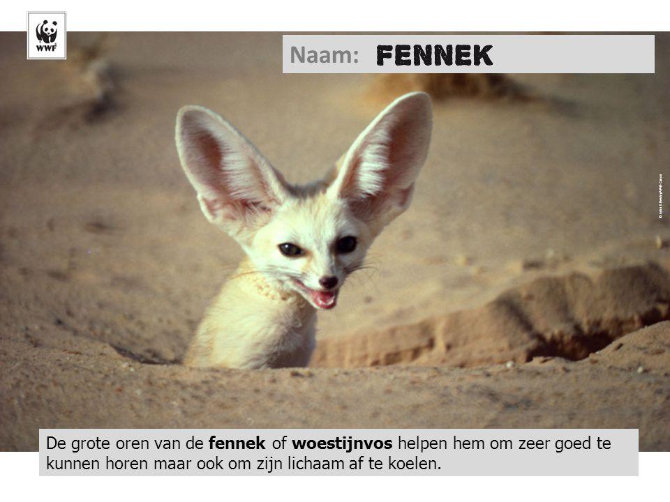 © John E. Newby/WWF-Canon De grote oren van de fennek of woestijnvos helpen hem om zeer goed te kunnen horen maar ook om zijn lichaam af te koelen. Na