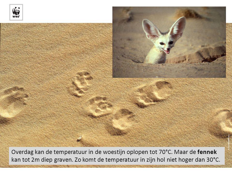 Overdag kan de temperatuur in de woestijn oplopen tot 70°C. Maar de fennek kan tot 2m diep graven. Zo komt de temperatuur in zijn hol niet hoger dan 3