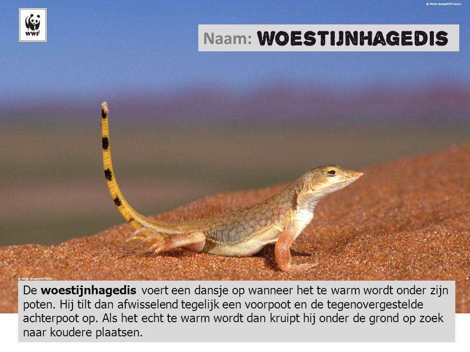 © Martin Harvey/WWF-Canon Naam: De woestijnhagedis voert een dansje op wanneer het te warm wordt onder zijn poten. Hij tilt dan afwisselend tegelijk e