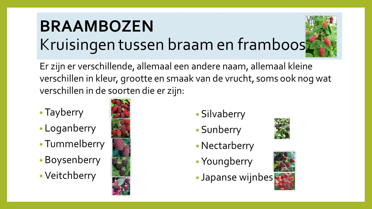 Tayberry Loganberry Tummelberry Boysenberry Veitchberry Silvaberry Sunberry Nectarberry Youngberry Japanse wijnbes BRAAMBOZEN Kruisingen tussen braam