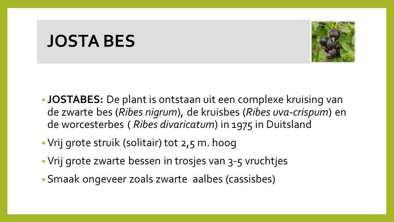 JOSTA BES JOSTABES: De plant is ontstaan uit een complexe kruising van de zwarte bes (Ribes nigrum), de kruisbes (Ribes uva-crispum) en de worcesterbe