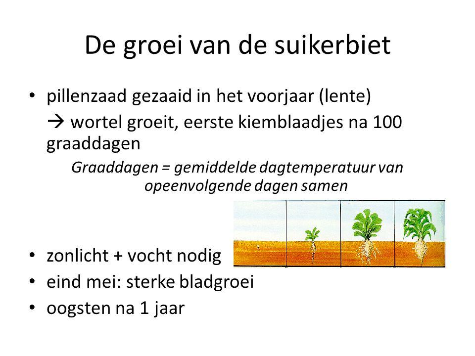 De groei van de suikerbiet pillenzaad gezaaid in het voorjaar (lente)  wortel groeit, eerste kiemblaadjes na 100 graaddagen Graaddagen = gemiddelde d