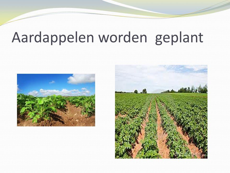 Aardappelen worden geplant
