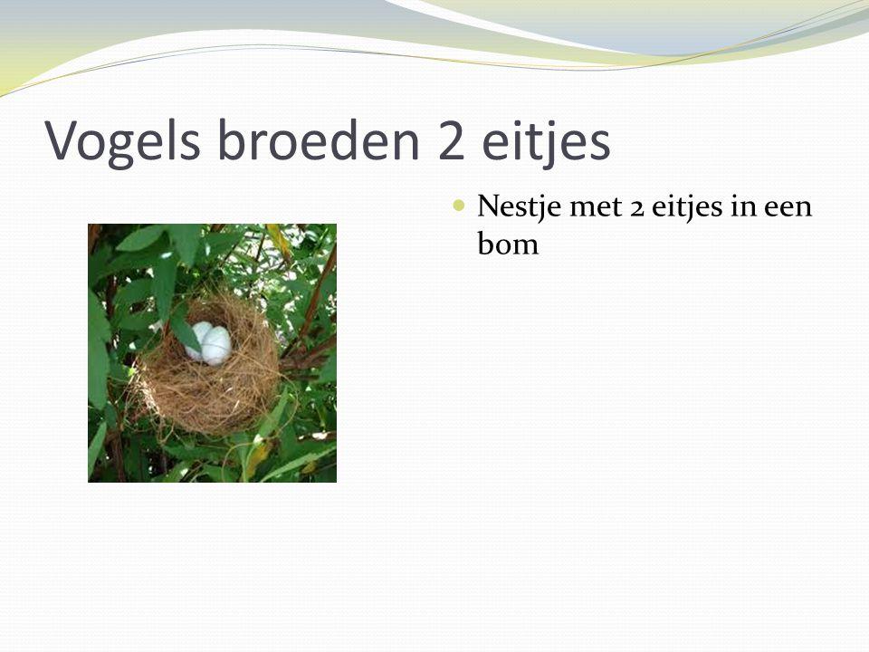 Vogels broeden 2 eitjes Nestje met 2 eitjes in een bom