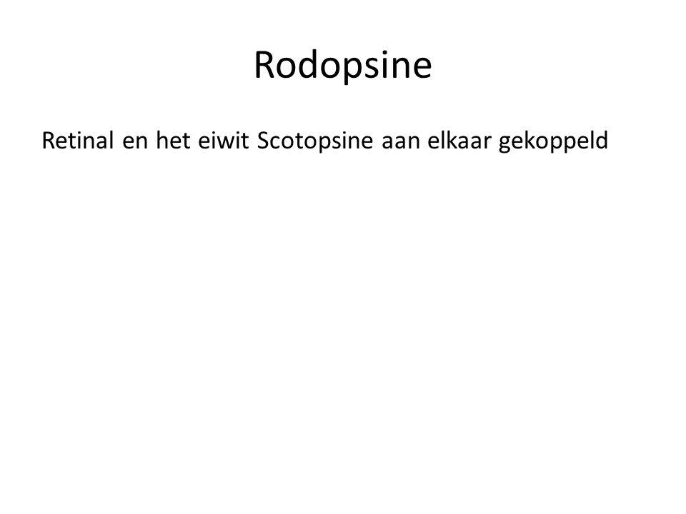 Rodopsine Retinal en het eiwit Scotopsine aan elkaar gekoppeld