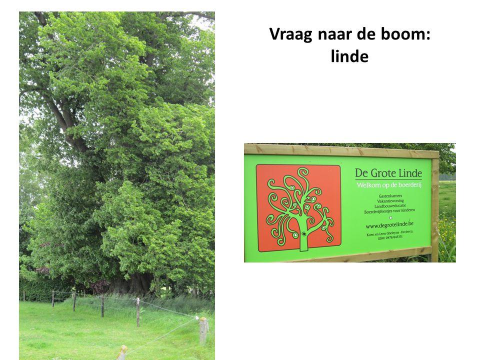 Vraag naar de boom: linde