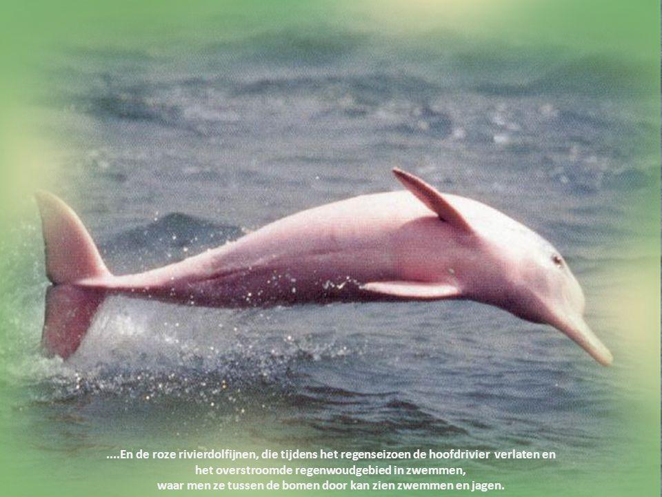 De Amazonerivier telt meer dan 3000 zeldzame waterdieren, waaronder de reuzenotter, schildpadden en alligators....