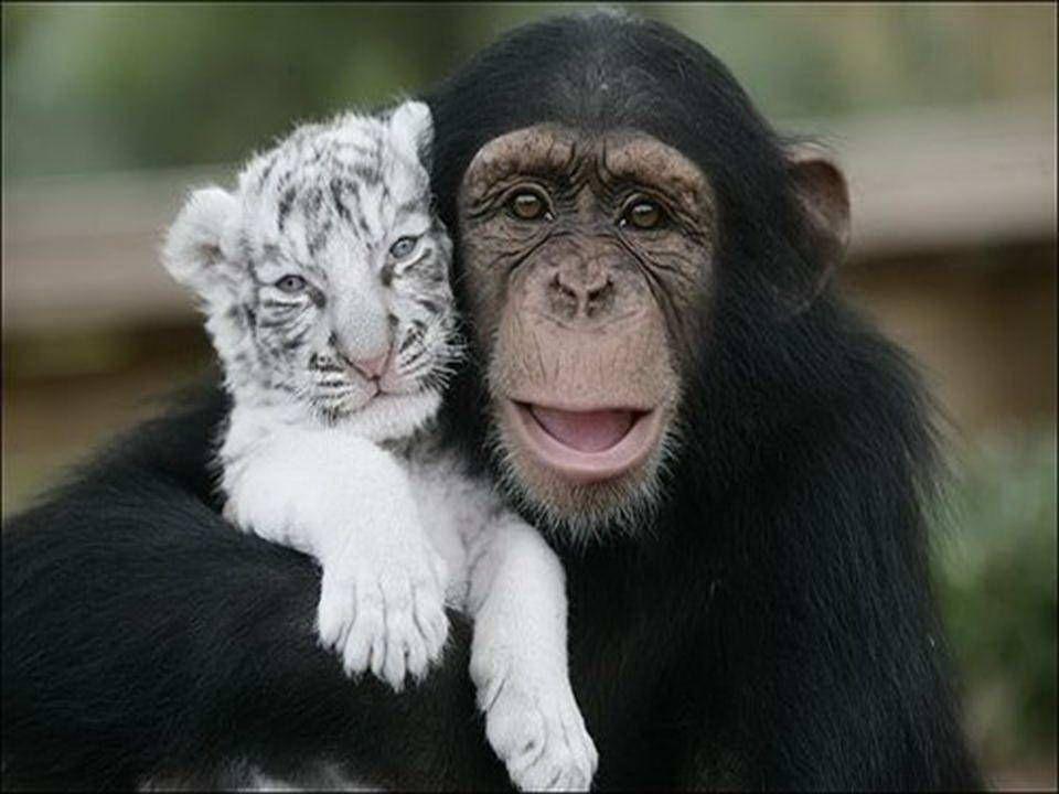 Als gevolg van orkaan Hanna werden in South Carolina twee moederloze witte tijgertjes gered. Ze kwamen in contact met Anjana, een chimpansee, die gesc