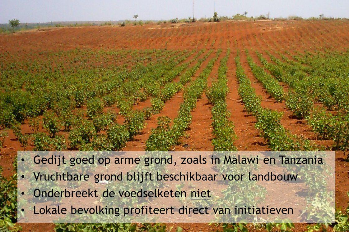 Gedijt goed op arme grond, zoals in Malawi en Tanzania Vruchtbare grond blijft beschikbaar voor landbouw Onderbreekt de voedselketen niet Lokale bevolking profiteert direct van initiatieven