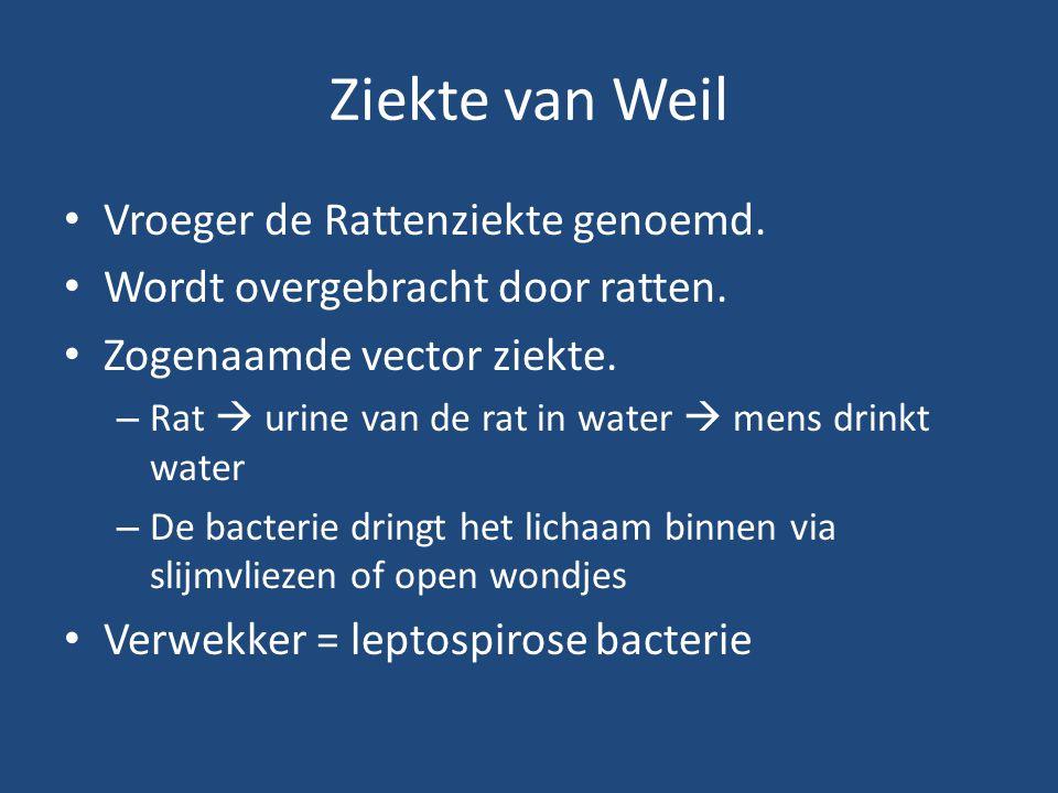 Ziekte van Weil Vroeger de Rattenziekte genoemd. Wordt overgebracht door ratten. Zogenaamde vector ziekte. – Rat  urine van de rat in water  mens dr