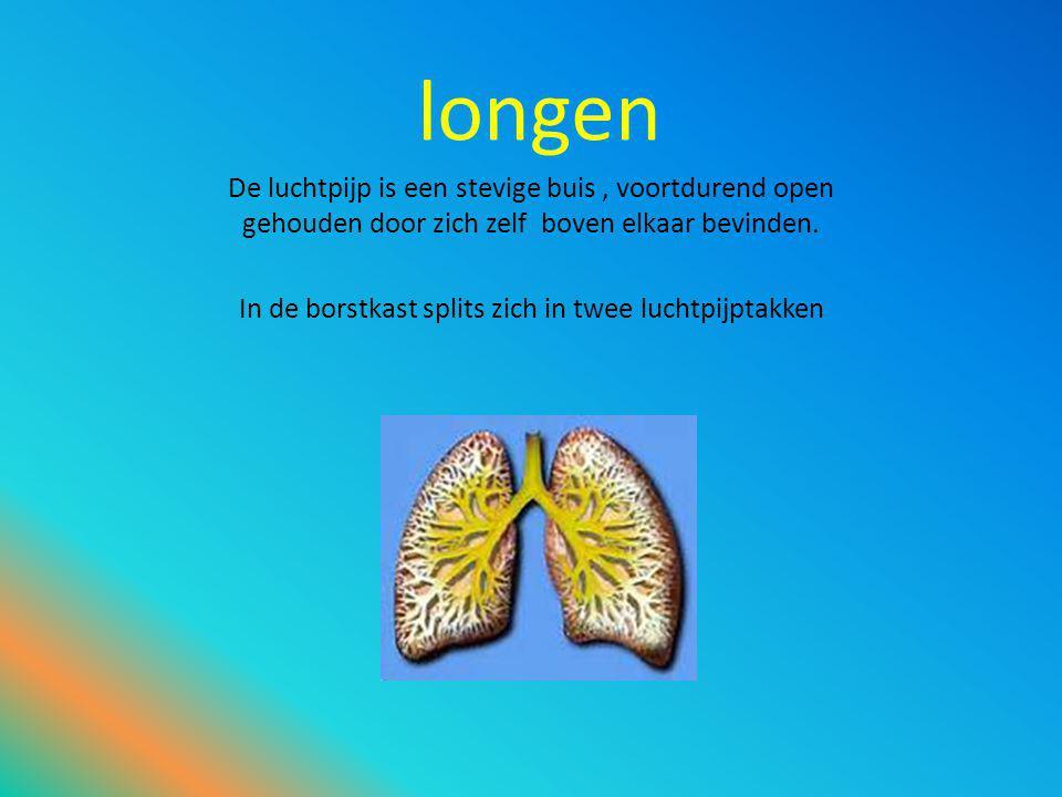 longen De luchtpijp is een stevige buis, voortdurend open gehouden door zich zelf boven elkaar bevinden.
