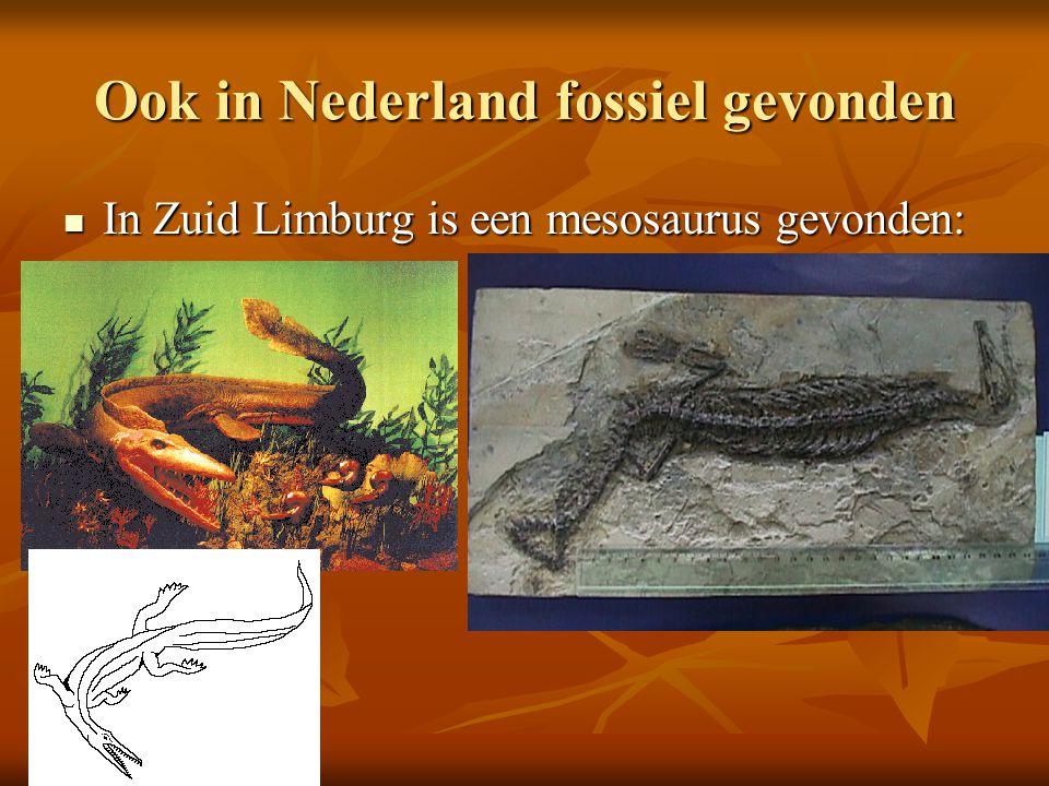 Ook in Nederland fossiel gevonden In Zuid Limburg is een mesosaurus gevonden: In Zuid Limburg is een mesosaurus gevonden: