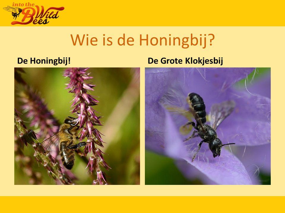 Wie is de Honingbij? De Honingbij!De Grote Klokjesbij