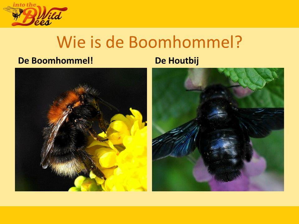 Wie is de Boomhommel? De Boomhommel!De Houtbij