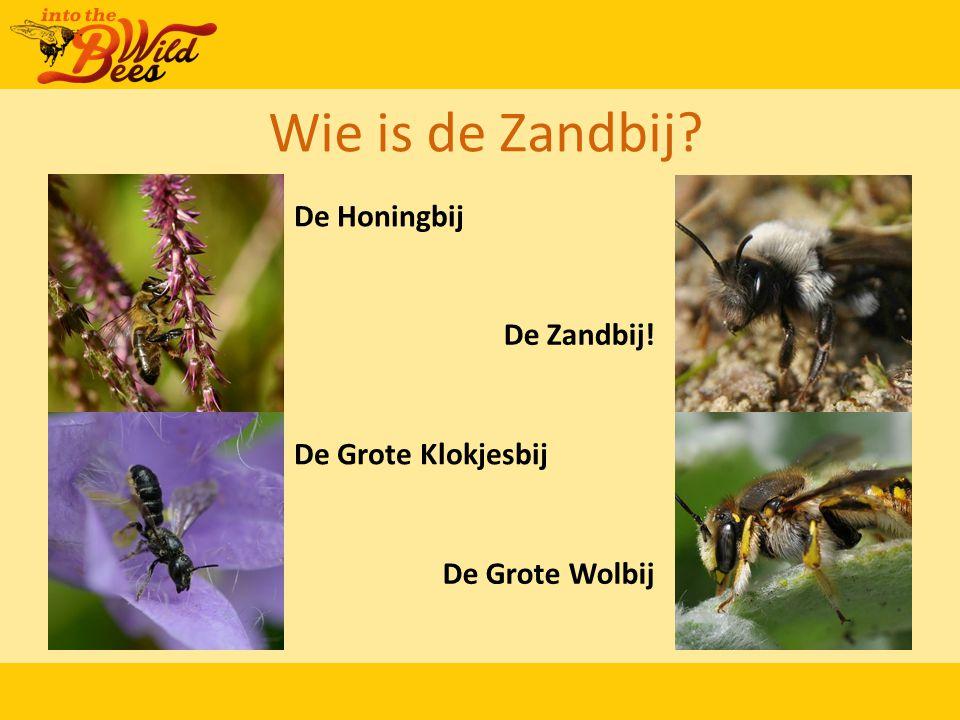 Wie is de Zandbij? De Honingbij De Zandbij! De Grote Klokjesbij De Grote Wolbij