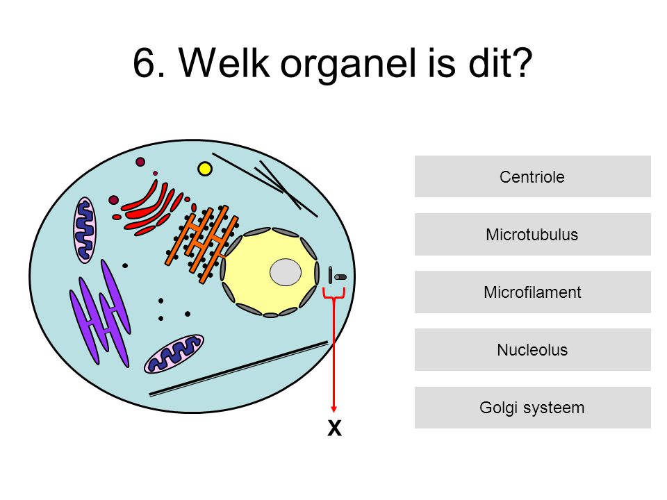 6. Welk organel is dit? Microtubulus Microfilament Nucleolus Golgi systeem Centriole X