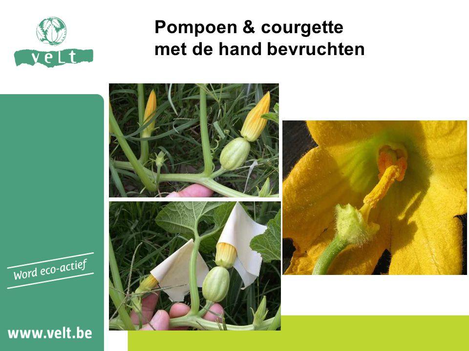 Pompoen & courgette met de hand bevruchten