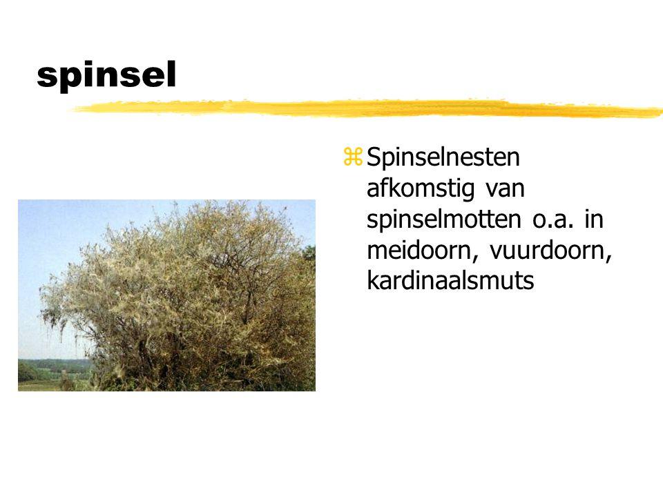 spinsel z Spinselnesten afkomstig van spinselmotten o.a. in meidoorn, vuurdoorn, kardinaalsmuts