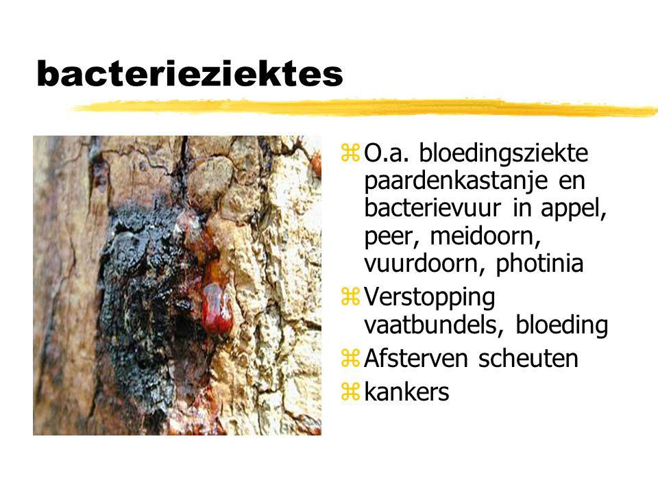 bacterieziektes z O.a. bloedingsziekte paardenkastanje en bacterievuur in appel, peer, meidoorn, vuurdoorn, photinia z Verstopping vaatbundels, bloedi