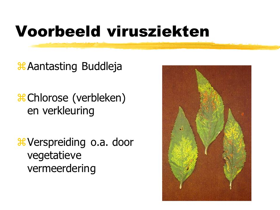 Voorbeeld virusziekten zAantasting Buddleja zChlorose (verbleken) en verkleuring zVerspreiding o.a. door vegetatieve vermeerdering