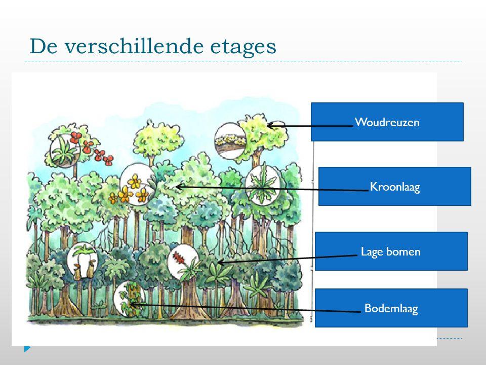 De verschillende etages Bodemlaag Lage bomen Woudreuzen Kroonlaag