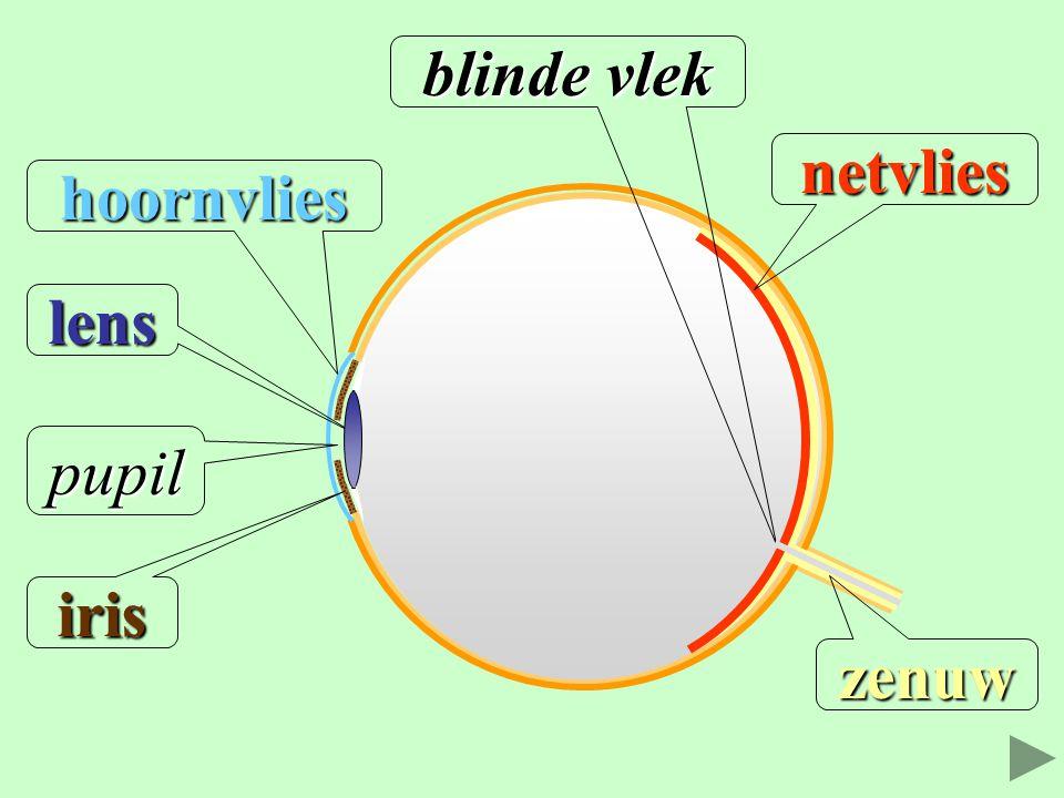 hoornvlies lens pupil iris zenuw blinde vlek netvlies