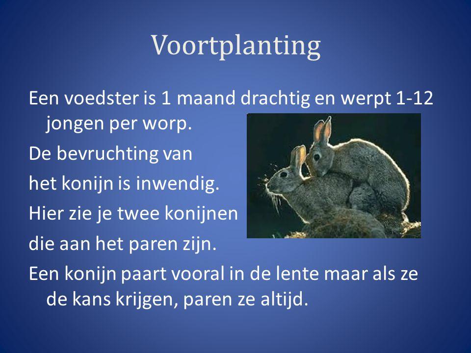 Voortplanting Een voedster is 1 maand drachtig en werpt 1-12 jongen per worp. De bevruchting van het konijn is inwendig. Hier zie je twee konijnen die